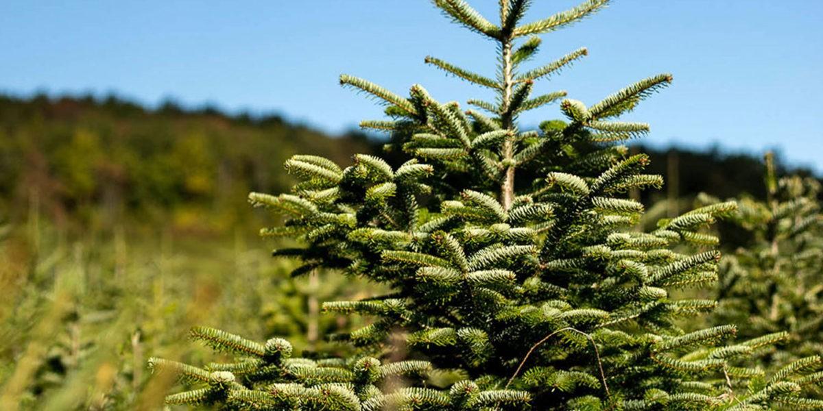 10 bonnes raisons d'acheter un sapin de Noël bio !