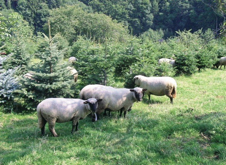Moutons sous sapins