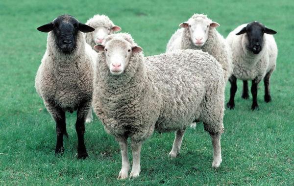 Des moutons pour désherber les parcelles de sapin