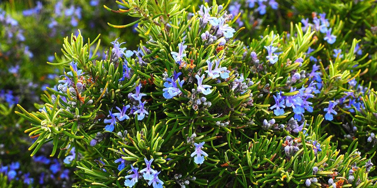 Romarin : un bel arbuste utile en cuisine