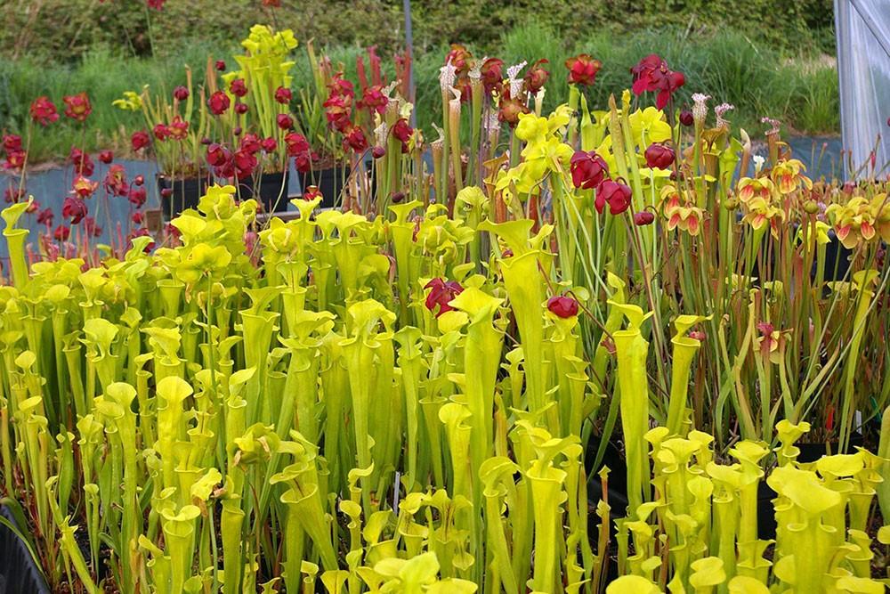 carniflore sp cialiste en plantes carnivores et plantes de tourbi res. Black Bedroom Furniture Sets. Home Design Ideas
