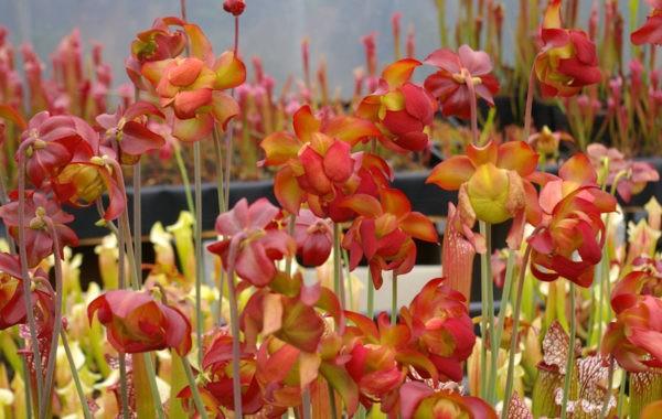 Sarracenia Pépinière Carniflore