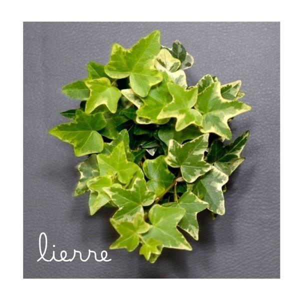 Hedera Helix du Coffret Végétal