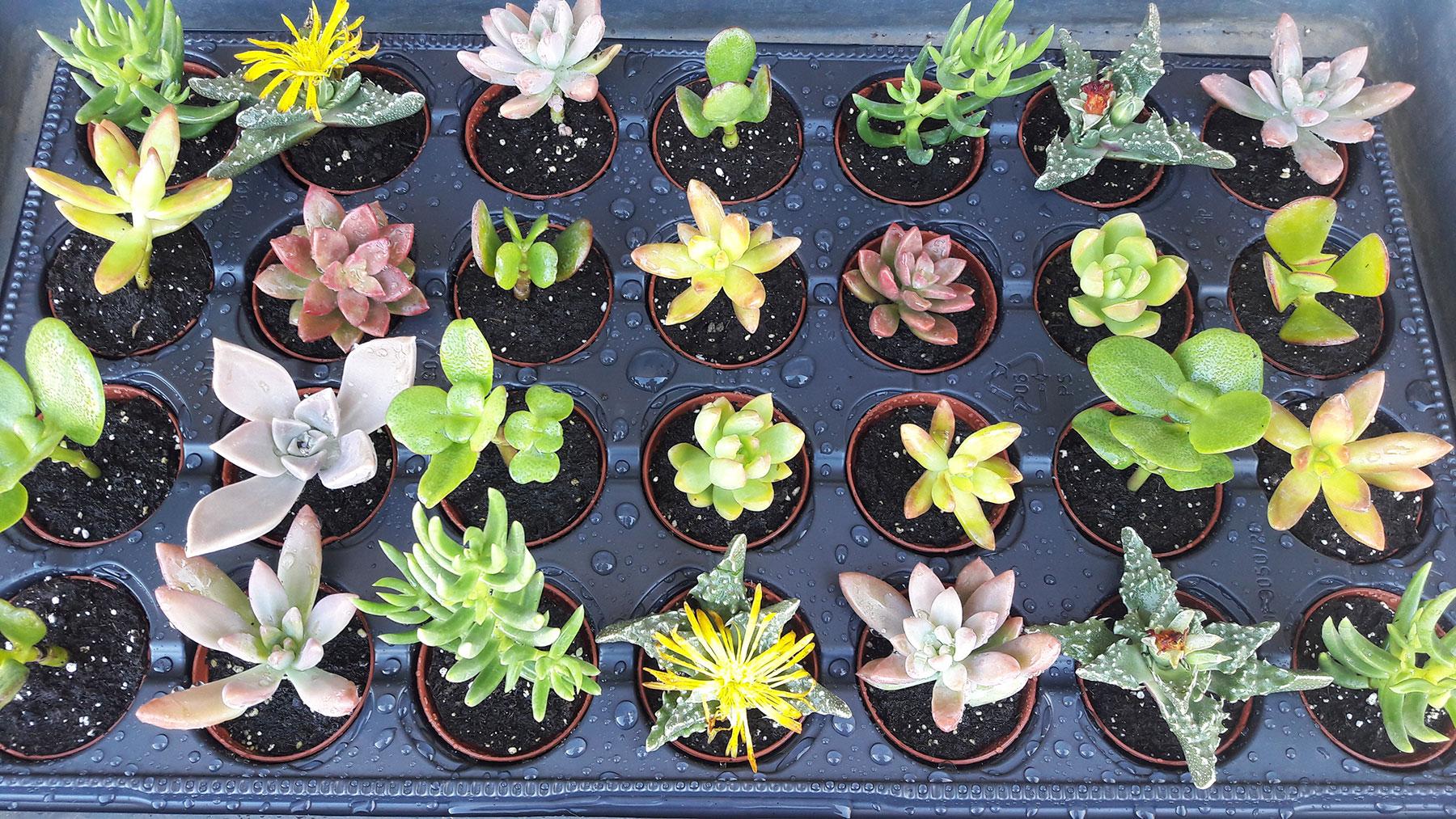 Plante Méditerranéenne Sans Arrosage pépinière l'arc en fleurs - producteur de vivaces et plantes