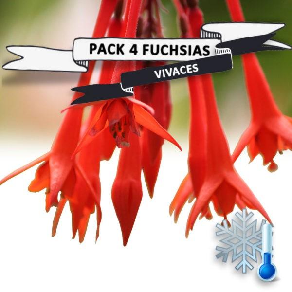 Pack Fuchsias vivaces