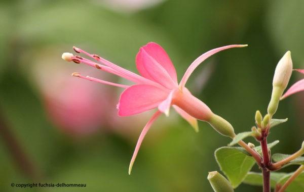 Fuchsia Delhommeau