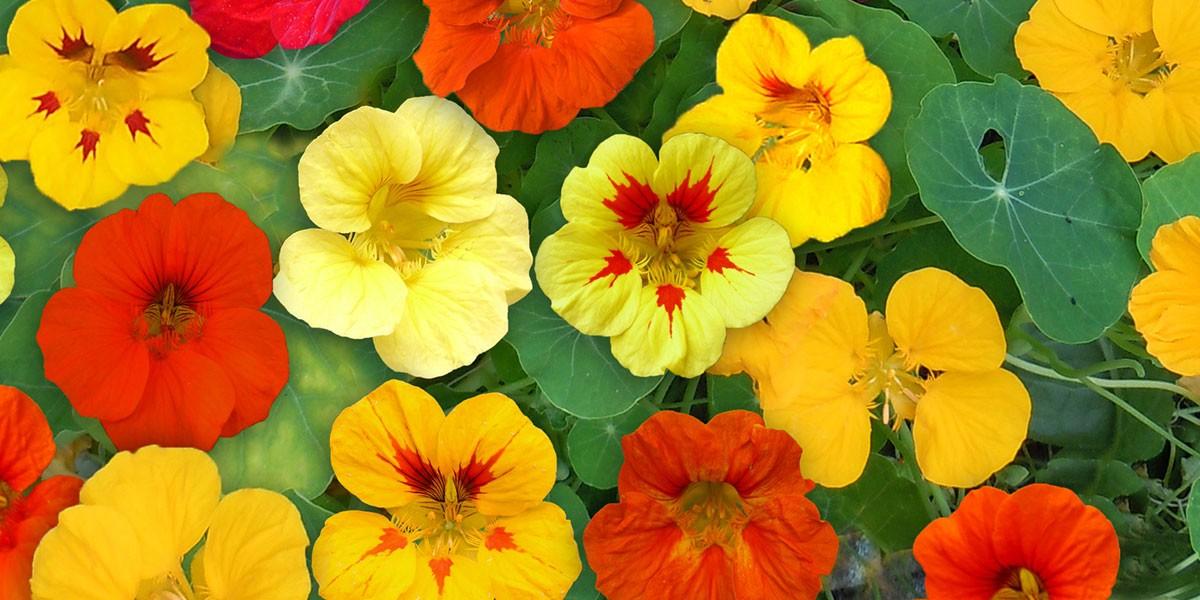 Cultivez des fleurs au potager !