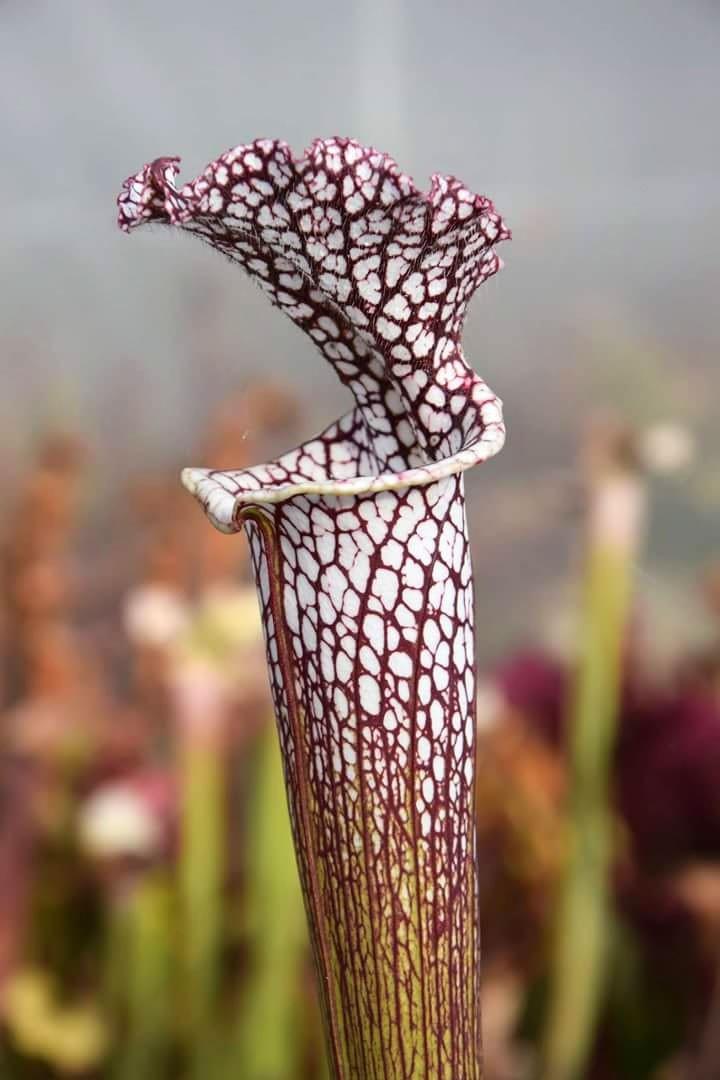 Sarracenia de Carnibreizh