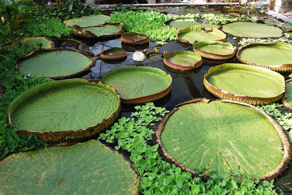 Nénuphars de Cactus Esterel