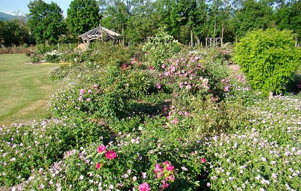 Les roses anciennes du Jardin de Talos