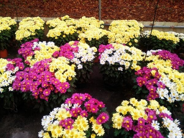 Chrysanthèmes de Marty Fleurs