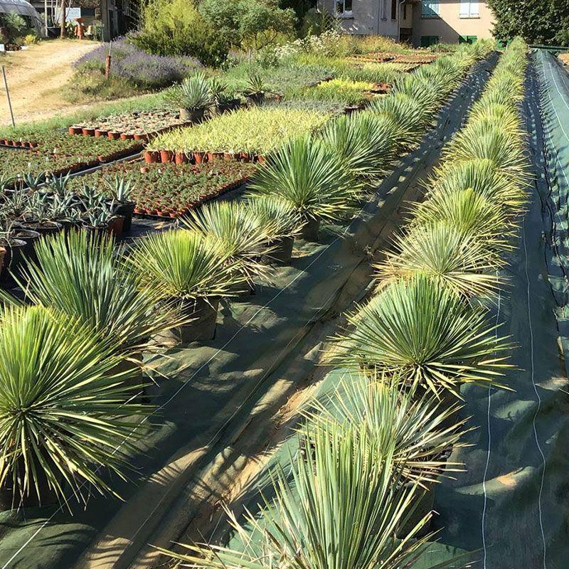 Production de Yucca
