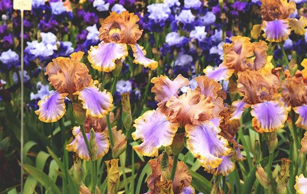 Pépinière Iris 26