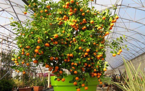 Fruitiers de la pépinière Jeanne Horticulture