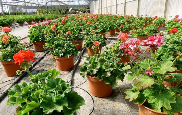 Géraniums de la pépinière Jeanne Horticulture