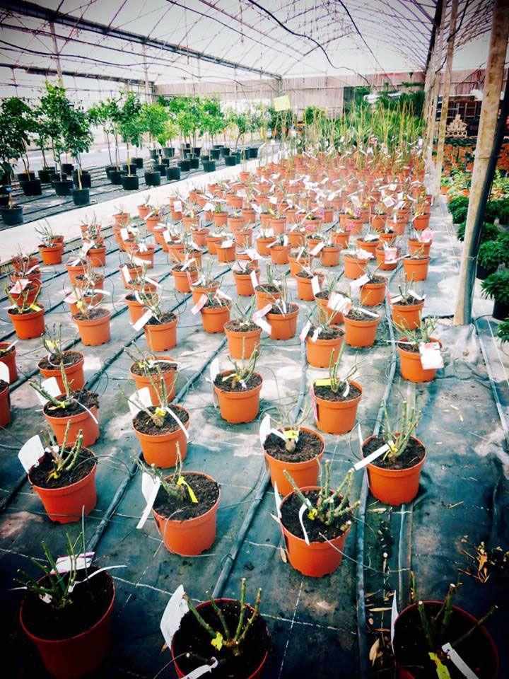 Les rosiers de Jeanne Horticulture