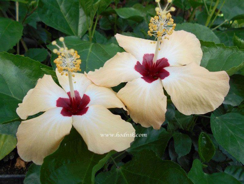 Plantes tropicales pépinière Hodnik