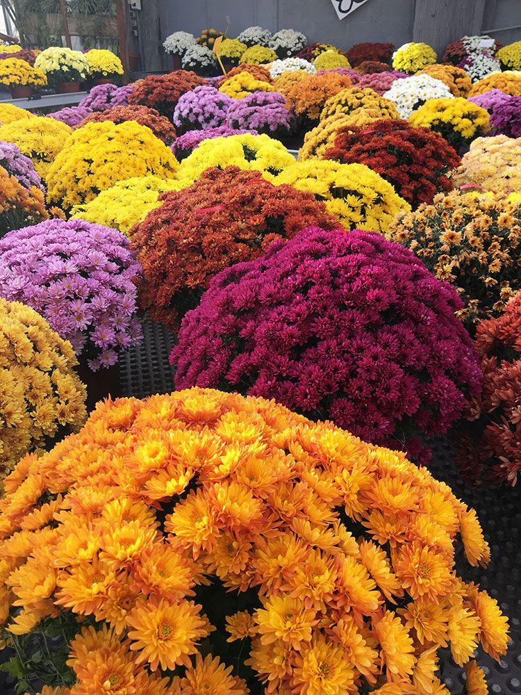 Chrysanthèmes de la pépinière Toulze