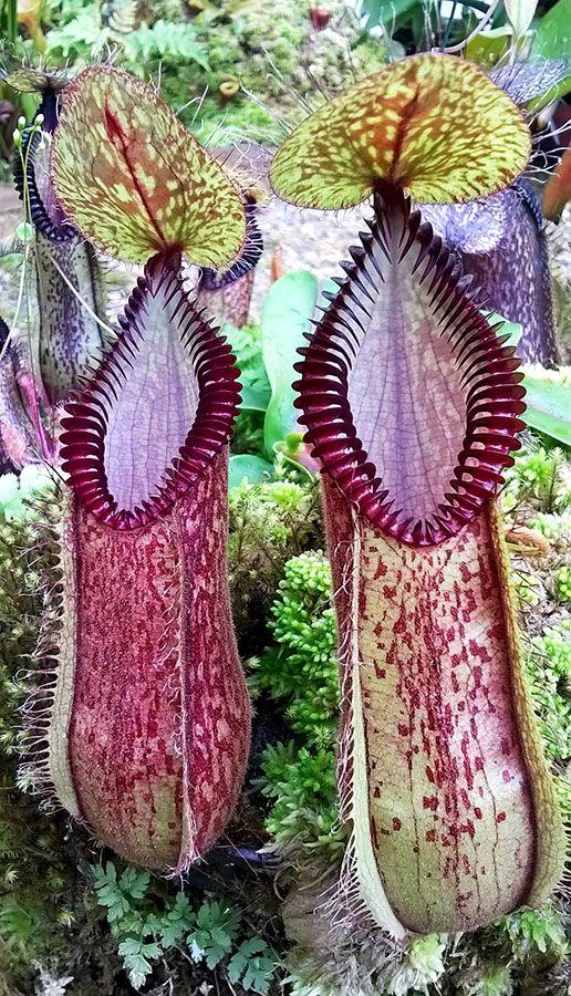 Les plantes carnivores de Cédric Carnivore's