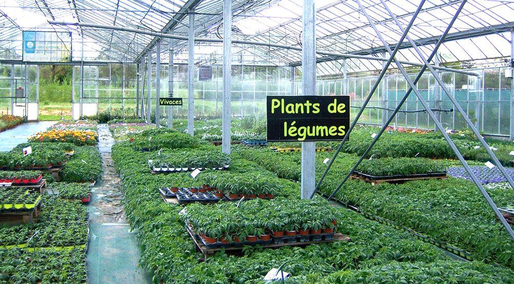 Plants de légumes de la pépinière Toulze
