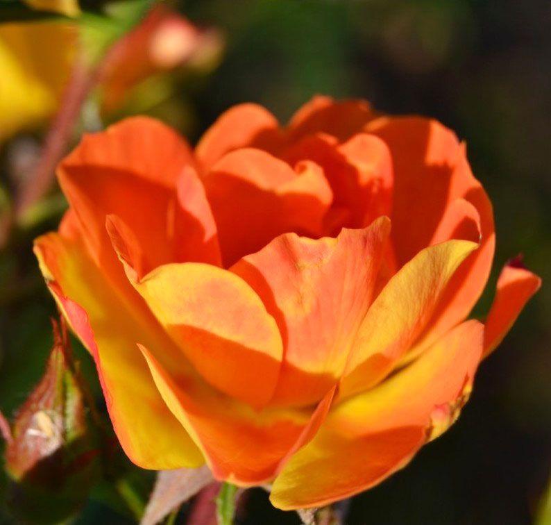 Pépinière Auprès des roses