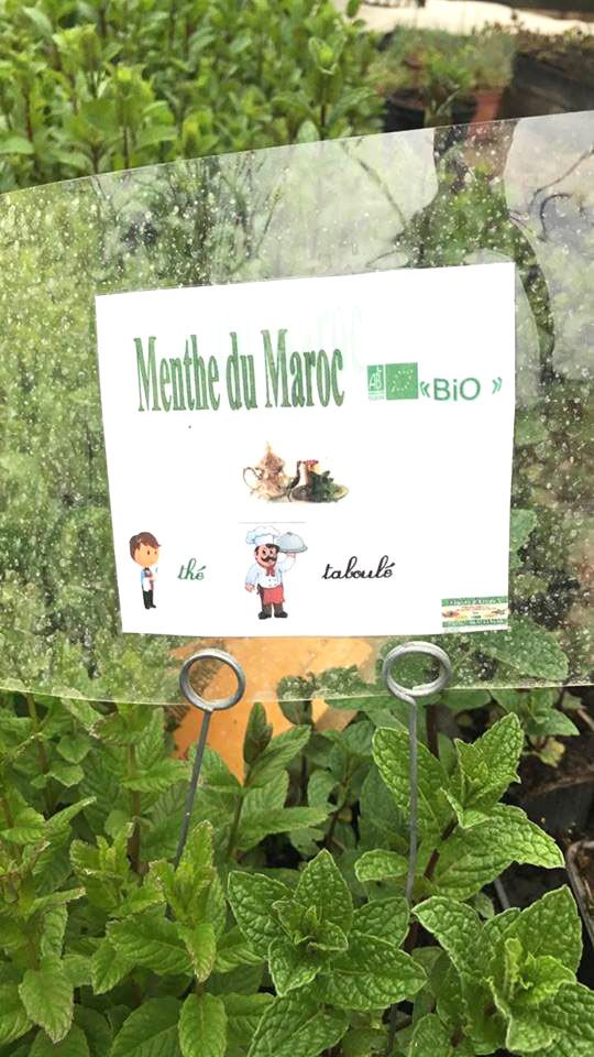 Menthe du Maroc de Plants d'Arômes