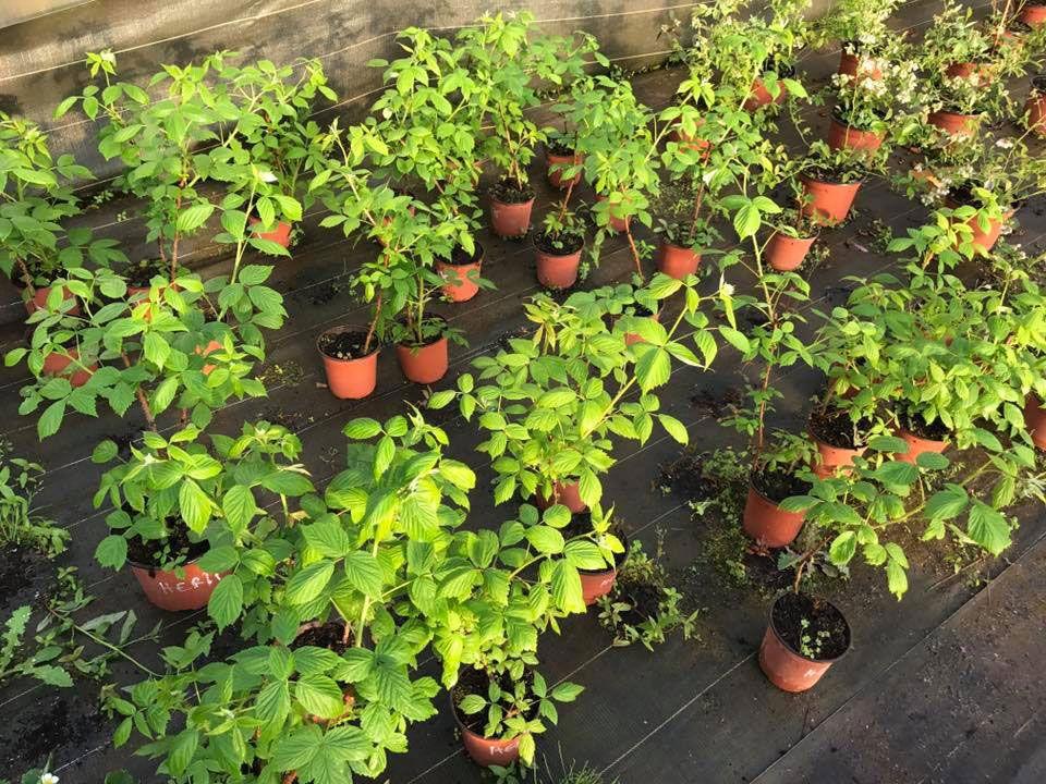 Plants d'Arômes