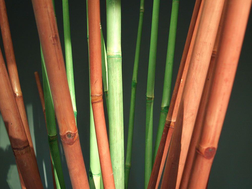 Bambous de Bambusa