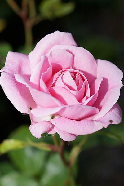La Rose en Fête à Veules-les-Roses