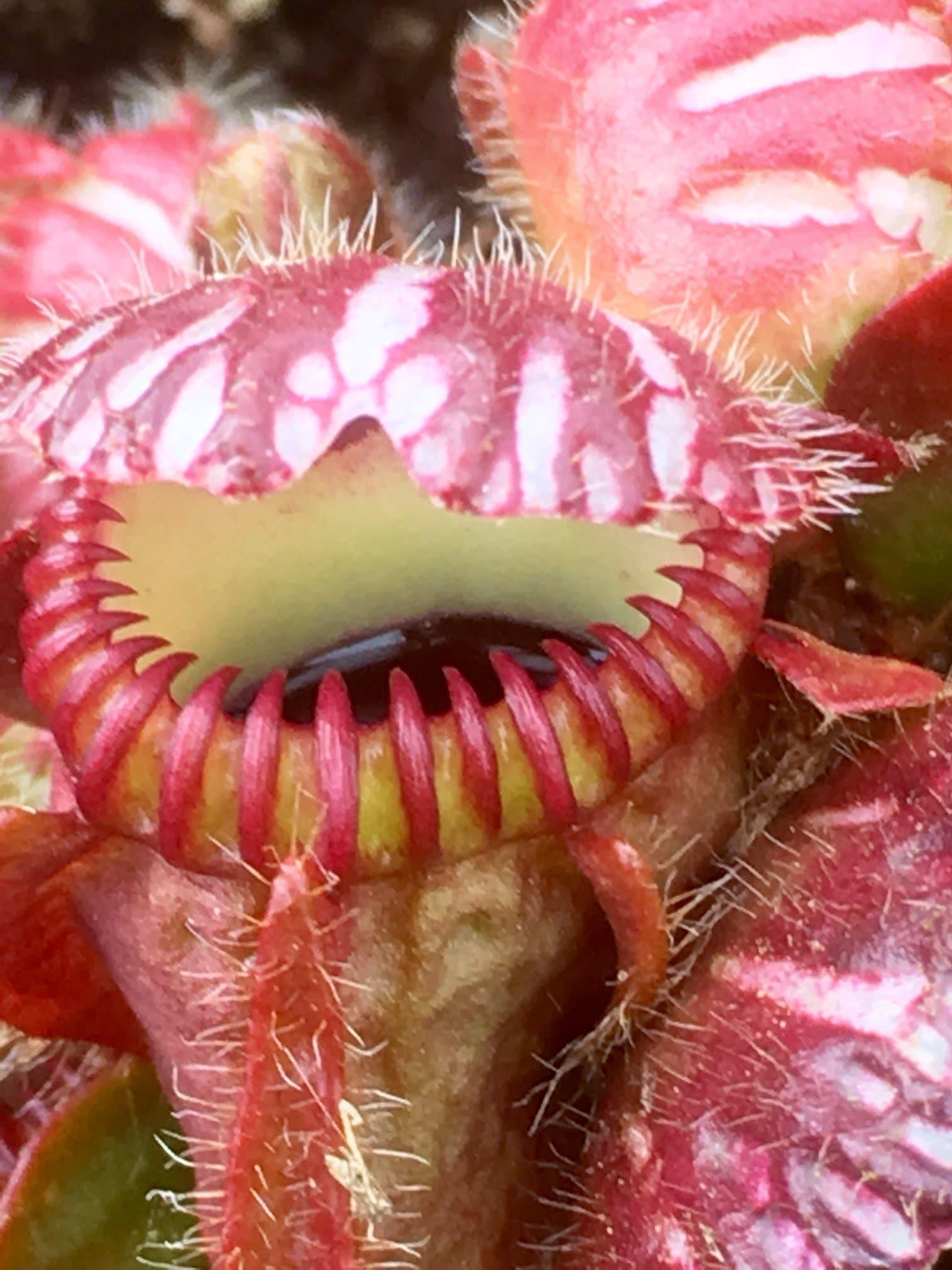 Les plantes carnivores de la pépinière Carniflore