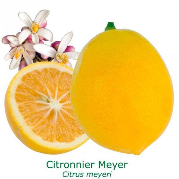 Citronnier meyer