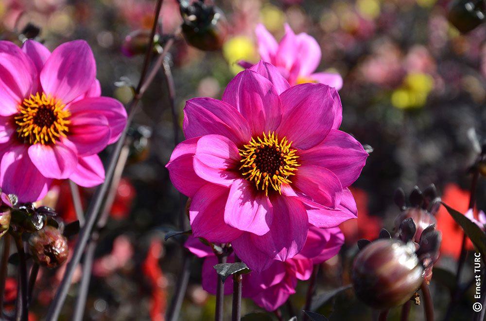 Dahlia simple fleur