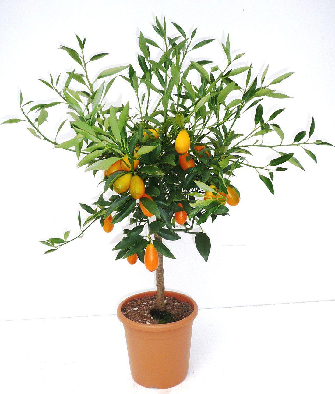 Kumquat du Jardin d'Agrumes