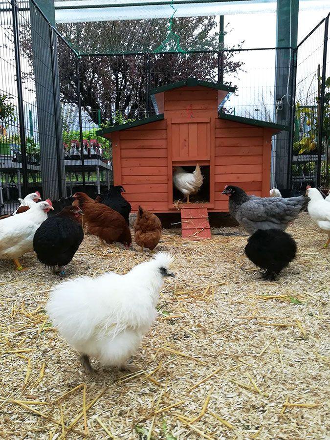 Poulaillers et poules