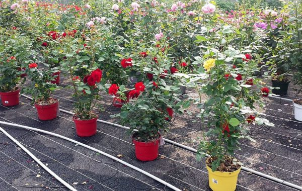 Rosiers - Merel Horticulture