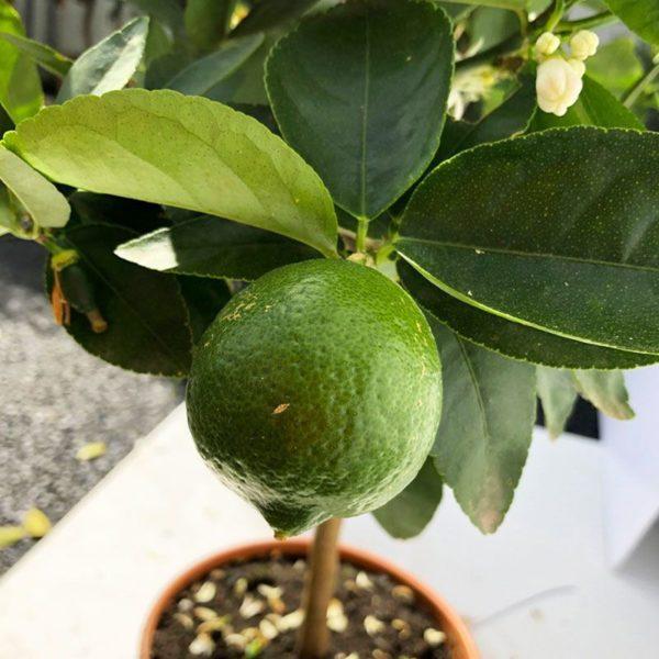 Citron vert - Lime de Tahiti