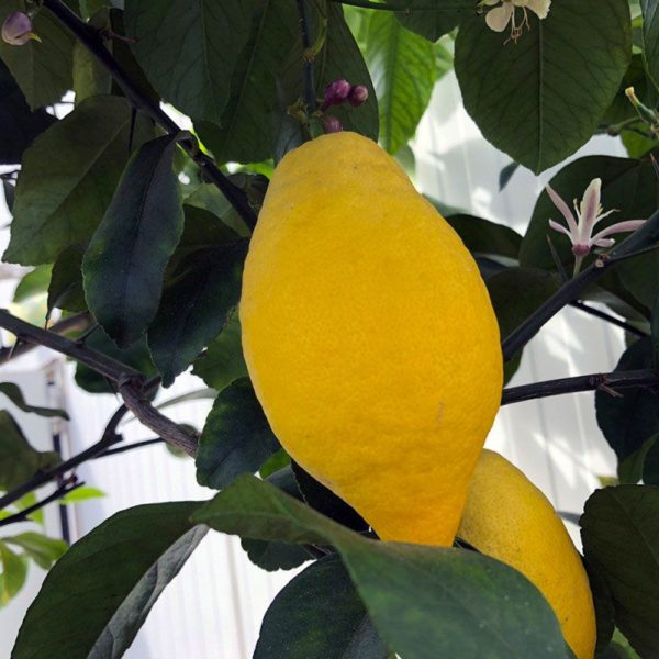 Citronnier 4 saisons
