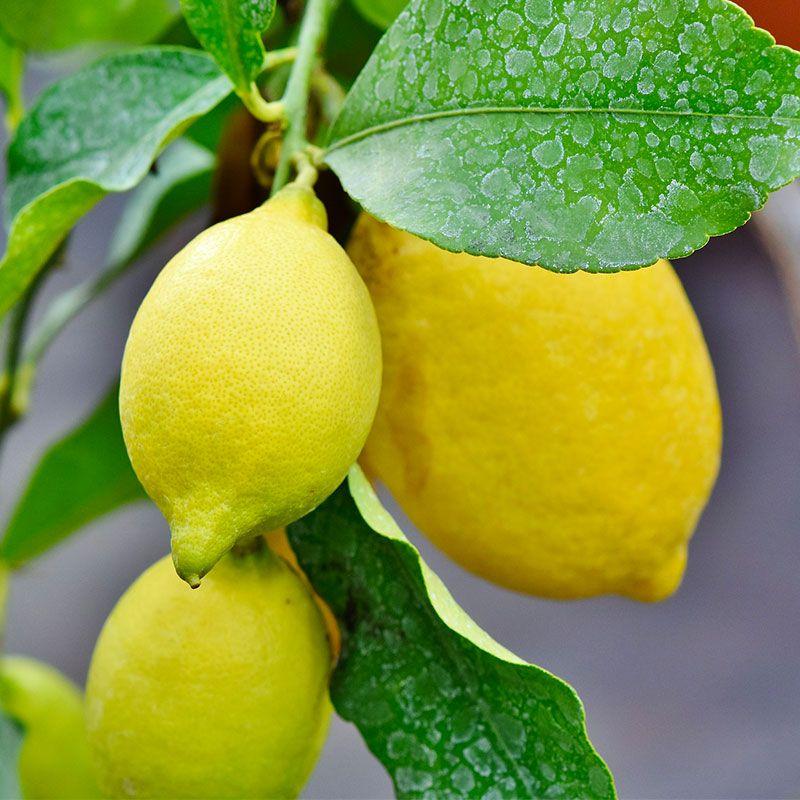 Citronnier du Jardin d'Agrumes