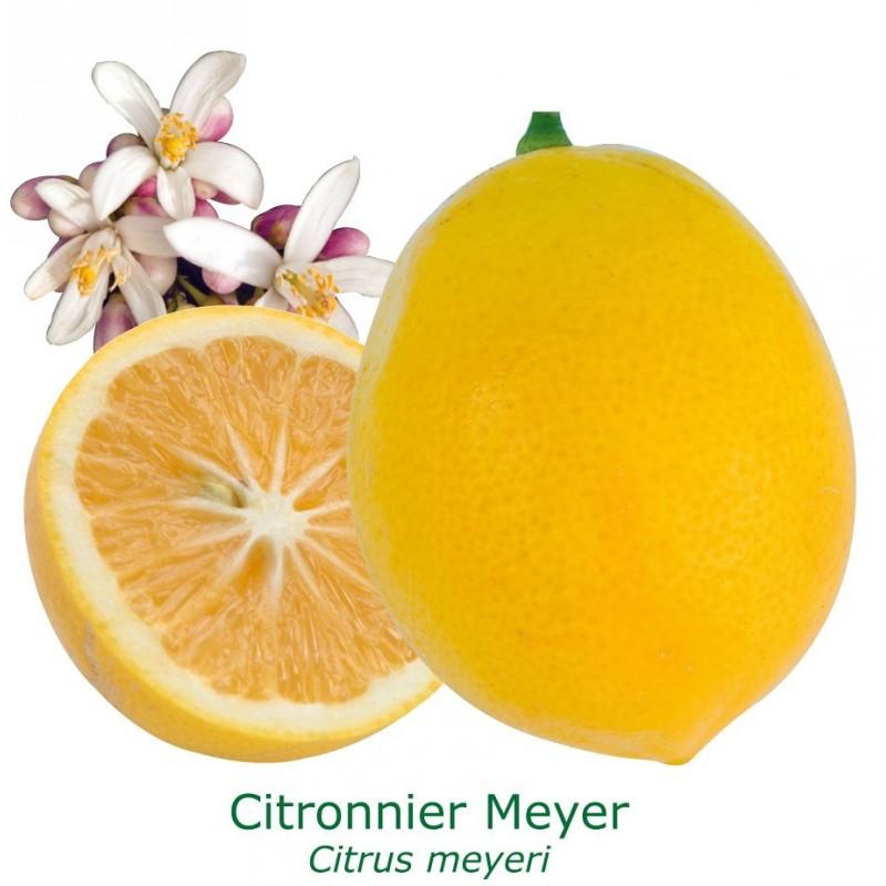 Citronnier meyer du Jardin d'Agrumes
