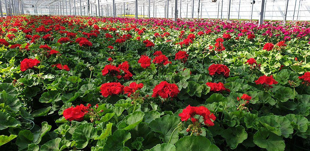 Les géraniums de Merel Horticulture