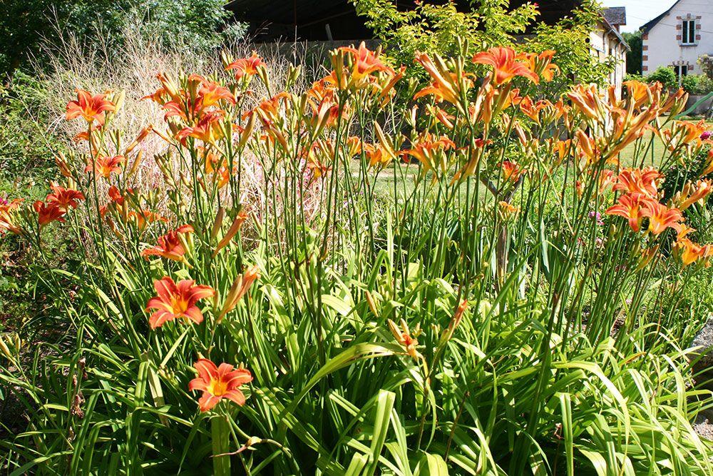 Hémérocalles botaniques