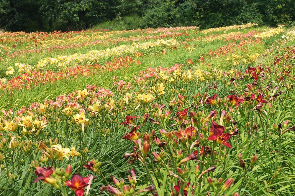 Champs d'hémérocalles de Bourdillon Iris