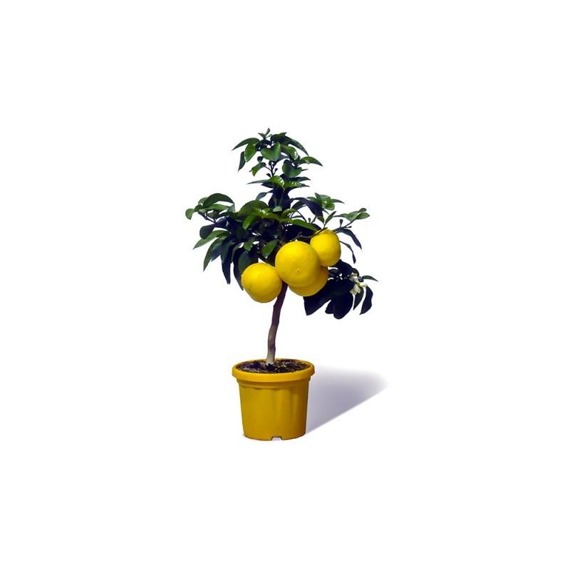 Pomelos du Jardin d'Agrumes