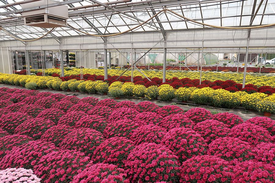 Production de chrysanthèmes
