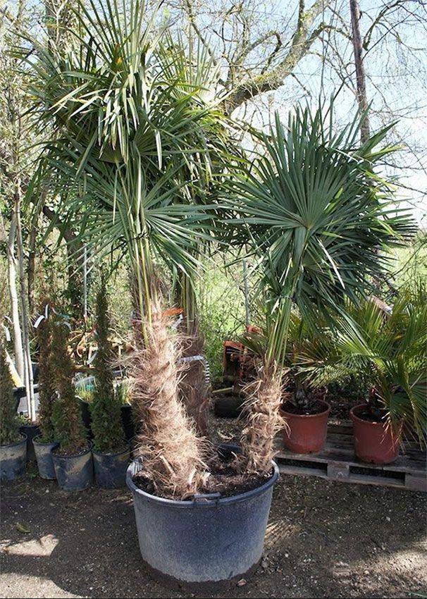 Palmier à 3 troncs