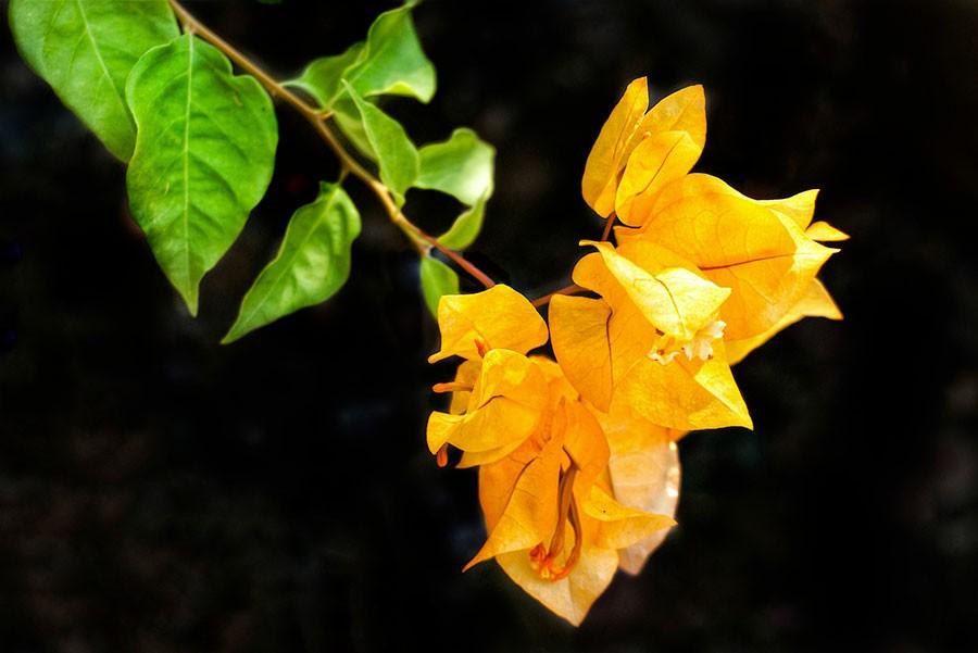Bougainvilliers jaune