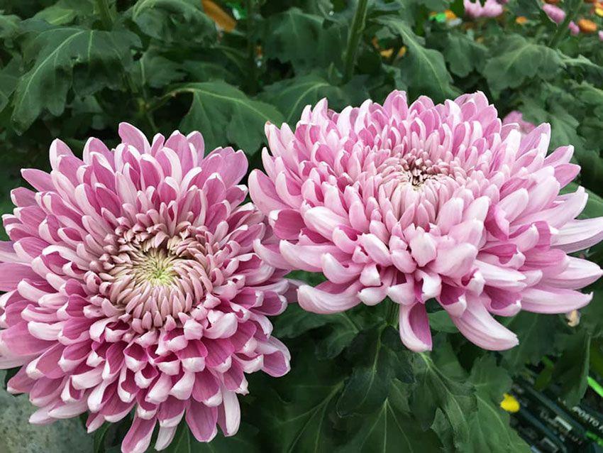 fleurs-jardiplus