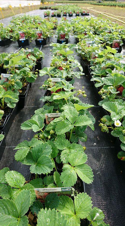 Les plants de fraisiers