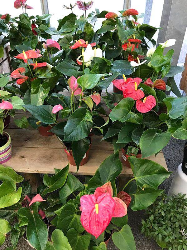 anthuriums-jardinerie-labelle