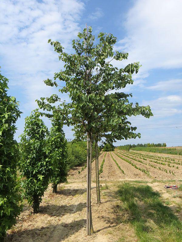 Les arbres de la Jardinerie des Pépinières Chatelain